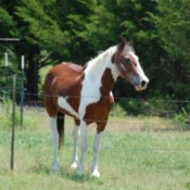Patriot (Paint Horse) in a field