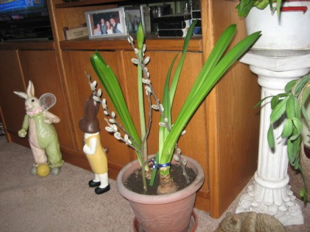 Staking an amaryllis with pussy willow branches.