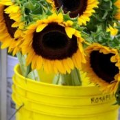 Growing Sunflowers in Containers
