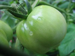Freezing Green Tomatoes Thriftyfun