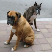 Photo of two boxers (dogs).