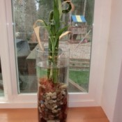 Lucky Bamboo in glass vase