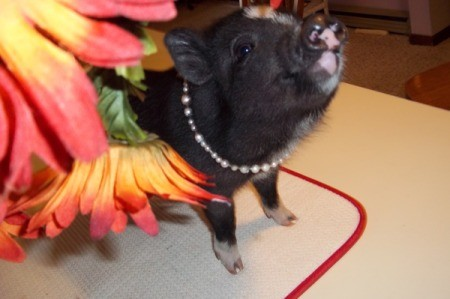 Velvet (Mini Potbelly Pig)