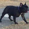 French Bulldog 1