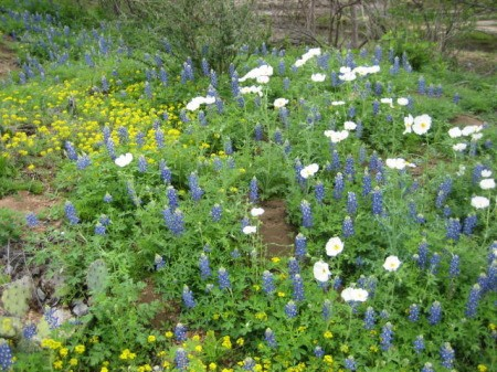 Wildflowers (Texas Hill Country)