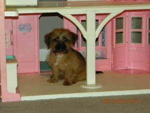 Marshall (Shih Tzu - Yorkshire Terrier) on the porch of a dollhouse.