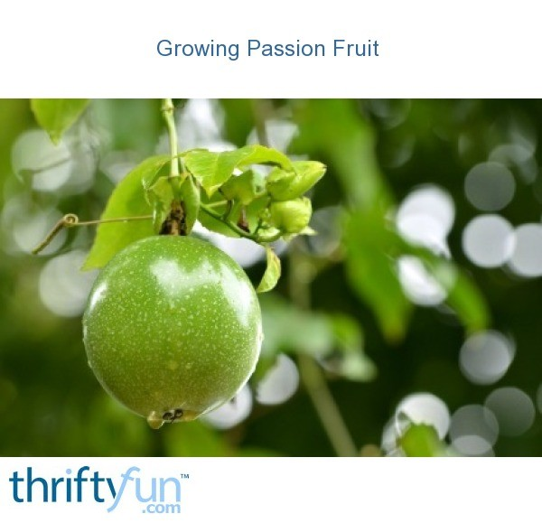 Growing passion fruit thriftyfun for Gardening is my passion
