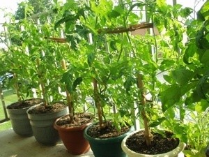 Potted Tomatoes on a Balcony