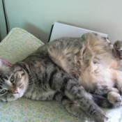 Tabby cat laying on her back