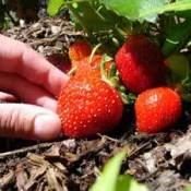 Hand picking a Strawberry