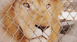 White African Lion in Texas