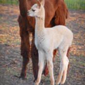 Esteban the baby alpaca with his mother