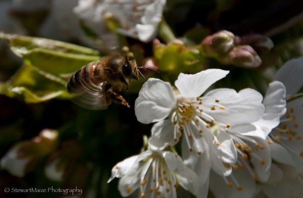 A bee pollinating a cherry blossom