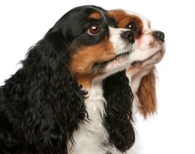 Cavalier King Charles Spaniel Breed Information and Photos