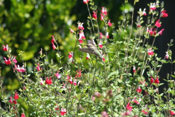 An Anna's Hummingbird in our English Garden