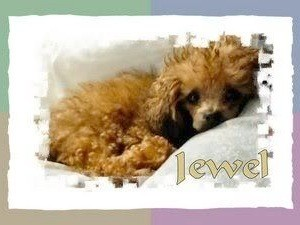 Jewel (Teacup Poodle)