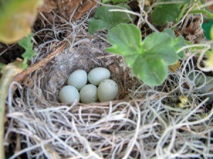 House Finch Nest (Santa Barbara, CA)