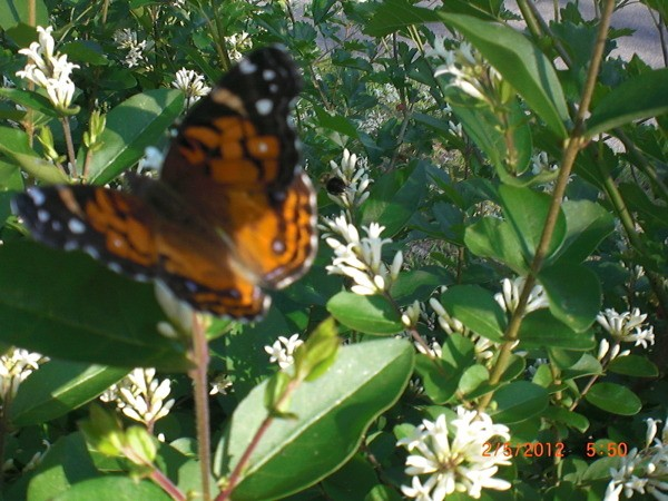Butterfly and Bee working near hedge