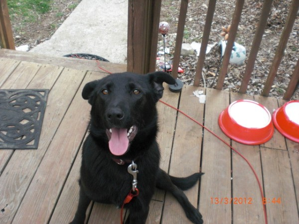 Blackie, a black lab and German Shepard mix, on a porch