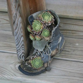 A succulent garden planted in an old boot.
