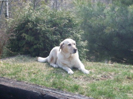 In Memory Of Tina (Yellow Labrador Retriever)
