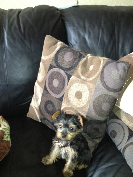 Yorkie puppy on couch.