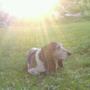 Burt, a Basset Hound, lying in the yard in the sun.