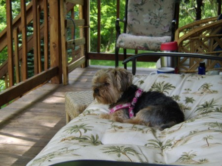 Bella, a Yorkshire terrier outside on a deck.