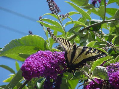 A Visitor to the Butterfly Bush