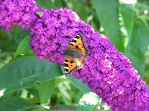 Growing a Butterfly Bush
