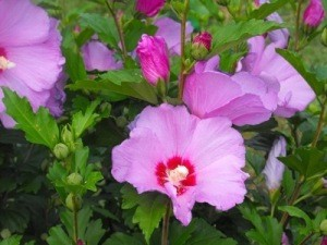 ... the late summer and fall. This guide is about growing Rose of Sharon