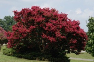 Pruning a Crepe Myrtle Tree