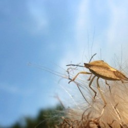 how to get rid of stink bugs on tomatoes