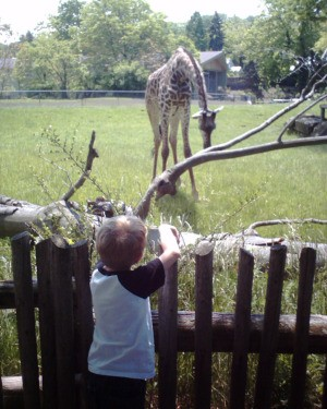 Child looking over the fence at baby giraffe.