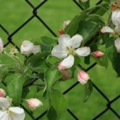 Chain Link Fence with Flowers