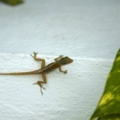 Natural Repellents for Lizards