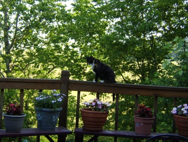Callie, a calico cat on a deck railing