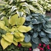 Buying and Growing Hostas