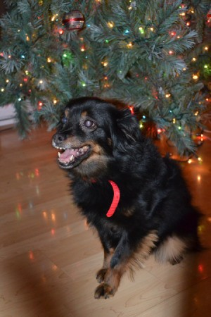 Medium haired black and tan dog under Xmas tree.