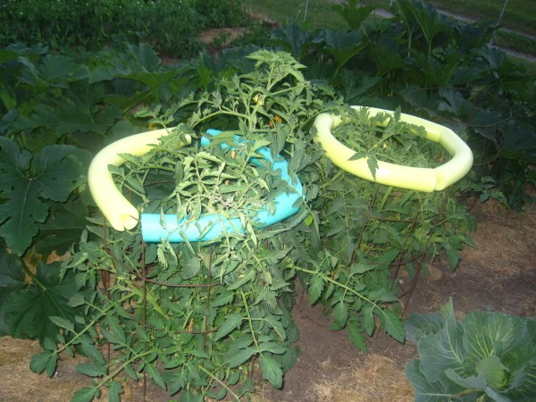 Use Pool Noodles to Protect Tomatoes