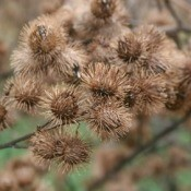 A cluster of burrs