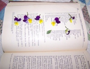 Pansies being pressed in a large book
