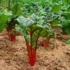 A photo of cabbage growing in a vegetable garden.