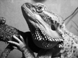 Lucifer (Bearded Dragon)