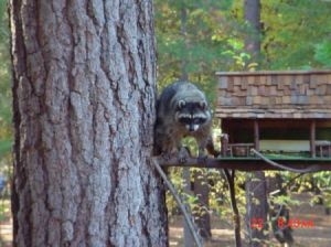Raccoon at squirrel feeder.