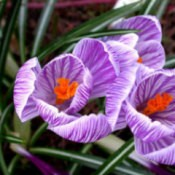 Three purple crocus flowers.