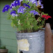 Petunias in galvanized calf feeding pail.