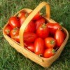 Basket of tomatoes from garden.