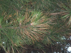 Brown pine needles.