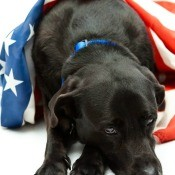 Dog with an American flag.